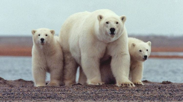 Polar bears are still claimed to be endangered: Are they? Fact and fantasy