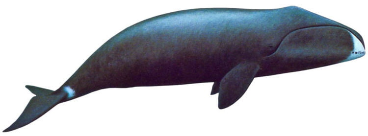 INTERESTED IN WHALES? SEE OUR LONG TERM RESEARCH ON BOWHEADS